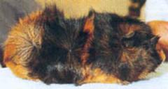 Cavia peruviana a pelo lungo